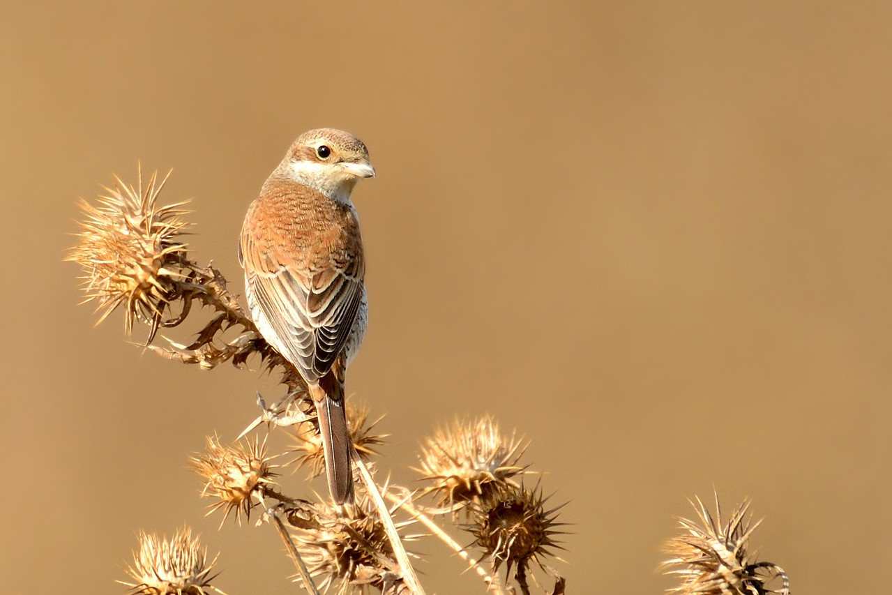 Red-backed Shrike (Lanius collurio