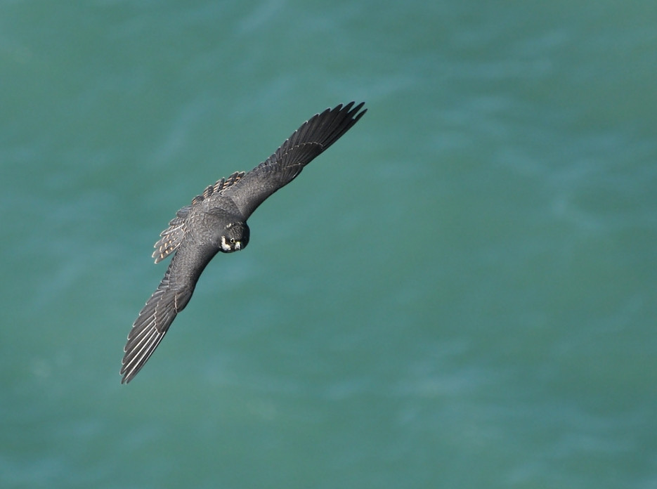 The Peregrine Falcon (Falco peregrinus), From a tall cliff over the Black Sea