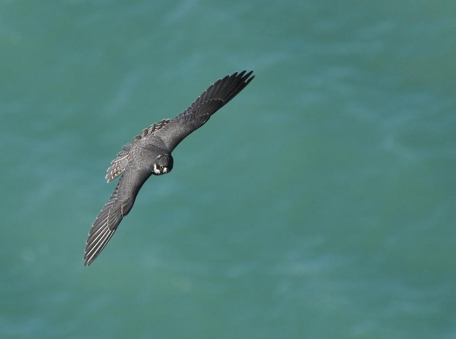 The Peregrine Falcon (Falco peregrinus), From a tall cliff over the Black Sea