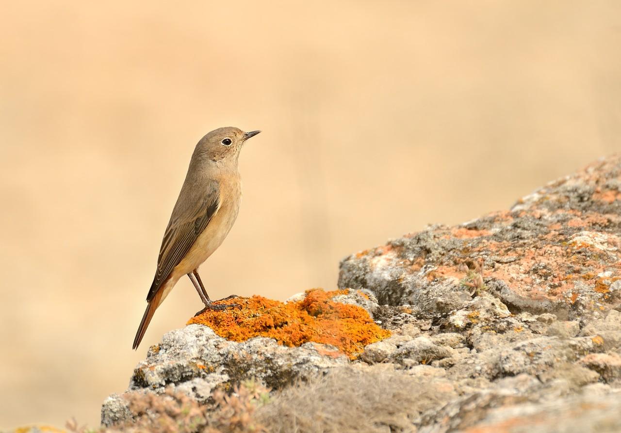 Common Redstart/Phoenicurus phoenicurus - Female