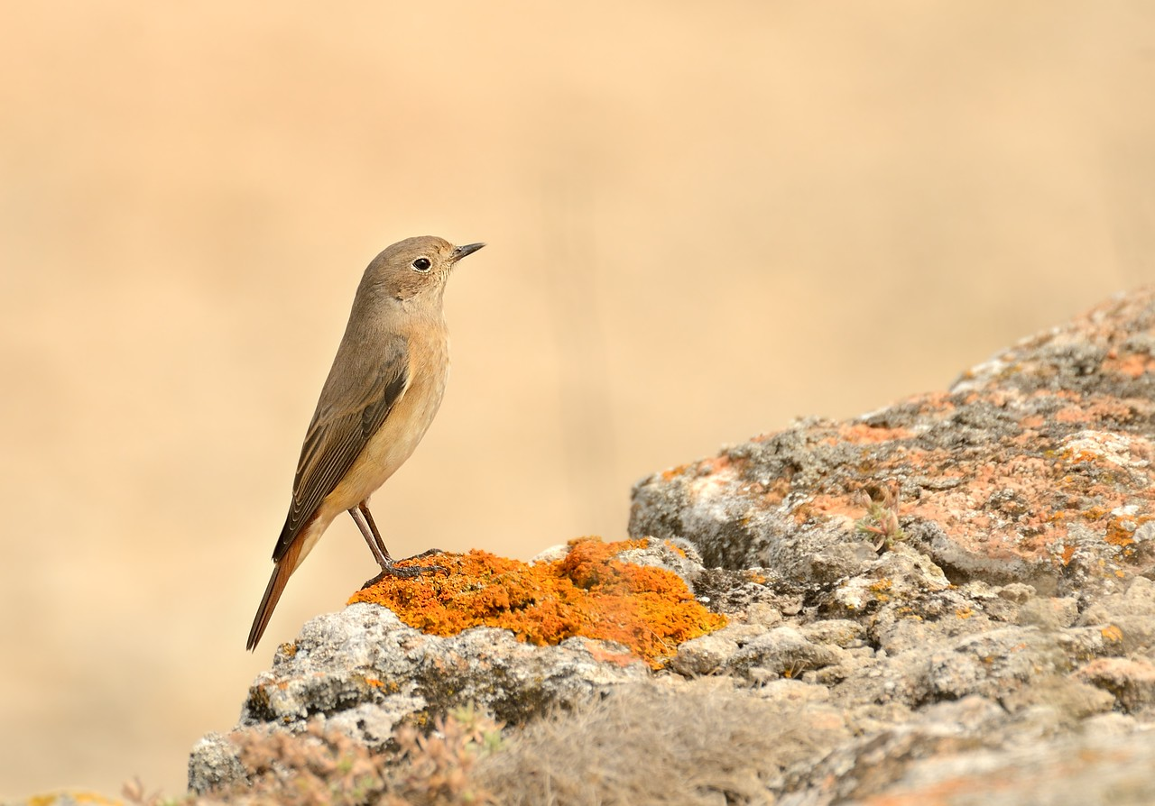 Common Redstart/Phoenicurus phoenicurus - Female