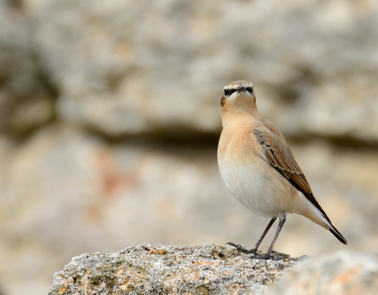 Northern Wheatear/Oenanthe oenanthe