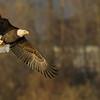 bald eagle, adult, hunting ducks, Bybee Lake, PDX, OR 11/27/2013