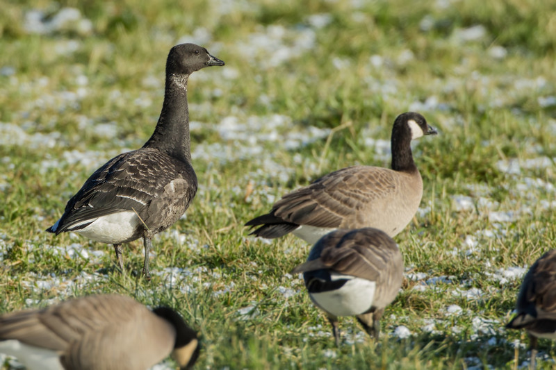 Brant (an uncommon inland winter visitor) found amongst a flock of cackling/Canada geese, Scappoose Bottoms, OR 12/08/13