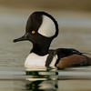 hooded merganser, adult male, PDX, OR 11/26/2103