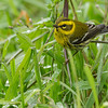 Townsend's warbler, adult female, foraging for aphids? in grass, PDX, OR 12/18/2013
