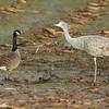 sandhill crane face-off with Tav/lesser Canada goose, Vancouver, WA, 2013