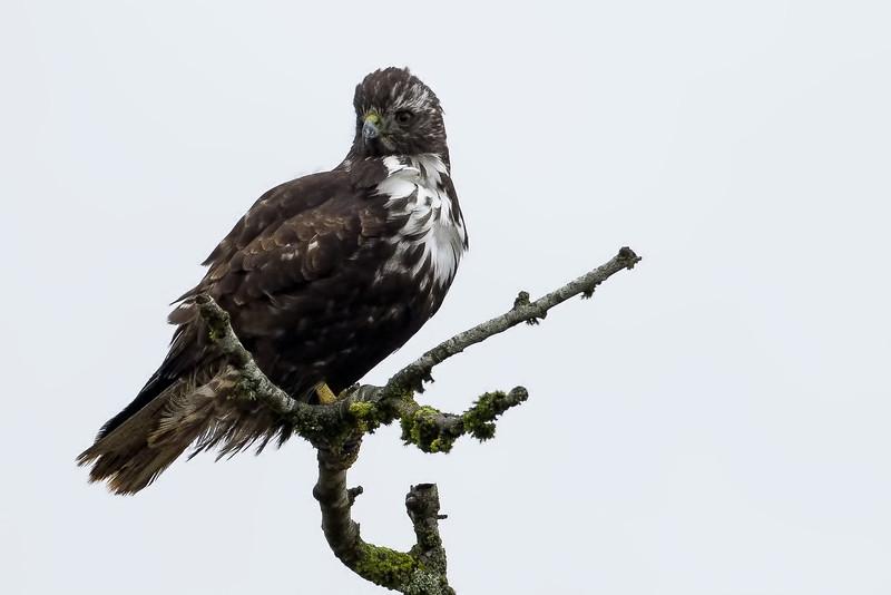 adult Harlan's hawk,