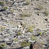 A little blurry photo of the one ram turned back to look at us.  They were a good distance away.