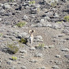 One of two bighorn we saw when we rounded the one bend near Black Mountain.