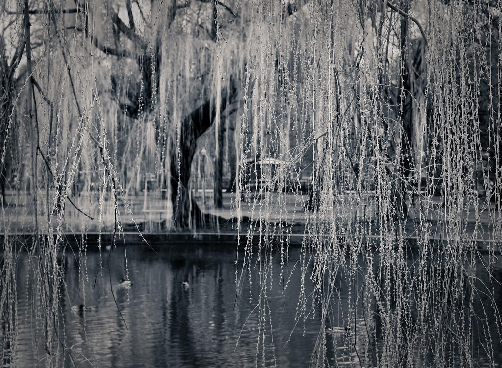 Willow, Boston Common Gardens