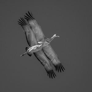 Sandhill Cranes, Bosque del Apache NWR (NM)