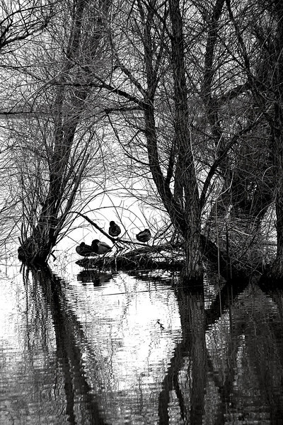 B&W Sleeping Ducks