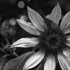 black and white sunflower with a little bokeh on the side