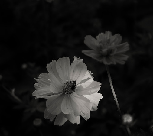 flowers, marigolds. summer.black and white