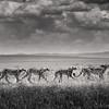 Cheetah and three cubs, Maasai Mara National Reserve, Kenya