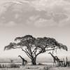 Giraffe, Amboseli National Park, Kenya