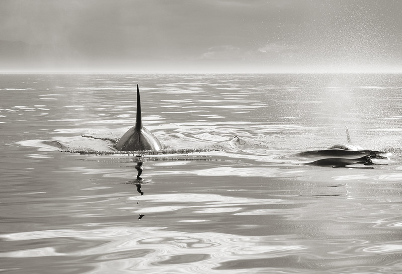 orca in black and white