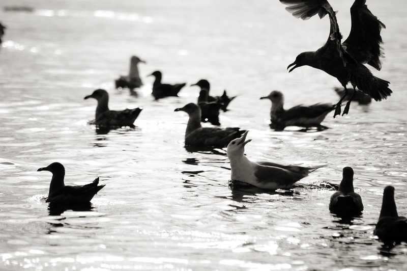Seagulls gather as fish are pushed up to the surface by larger sea mammals (like orcas, whales and sea lions).