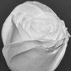 A white rose from my Dads funeral flowers.