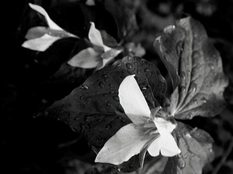 Dew Drops of Morning<br /> Oregon Japanese Gardens, Portland