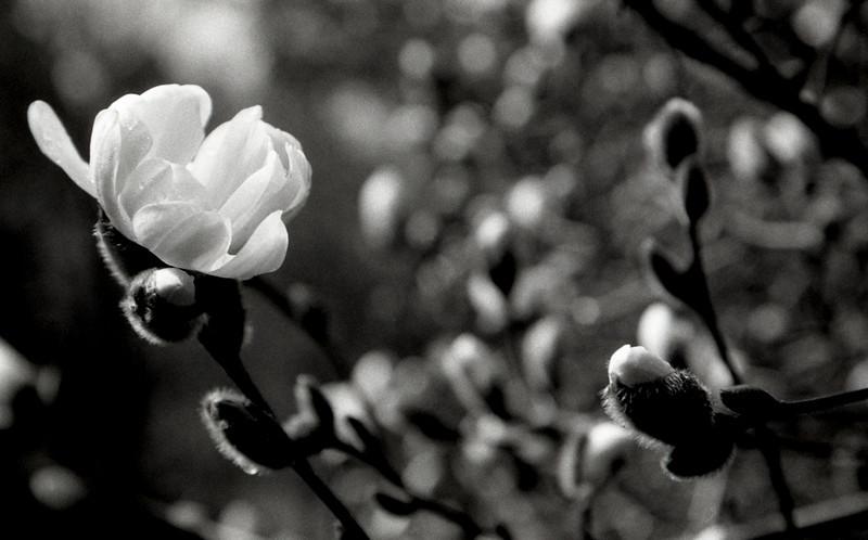 Morning Bloom<br /> Portland Japanese Gardens, OR