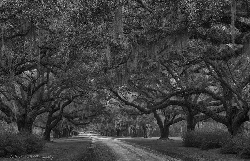 Oak Canopy in Low Country