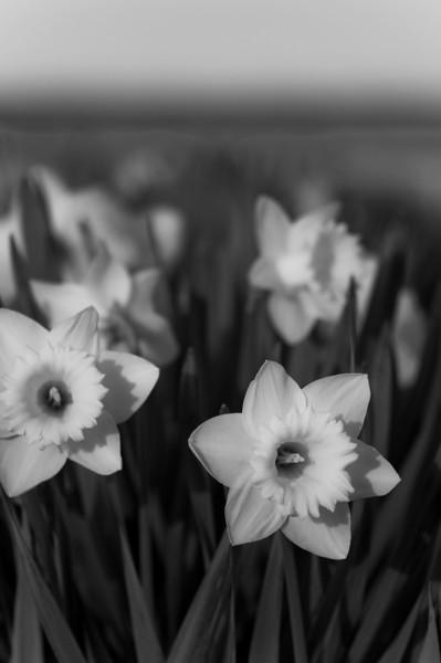 Daffodils <br /> La Conner, WA