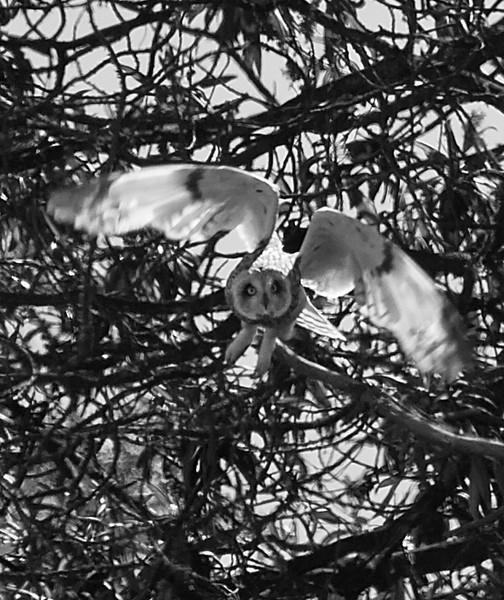 Common Barn Owl<br /> Tyto alba