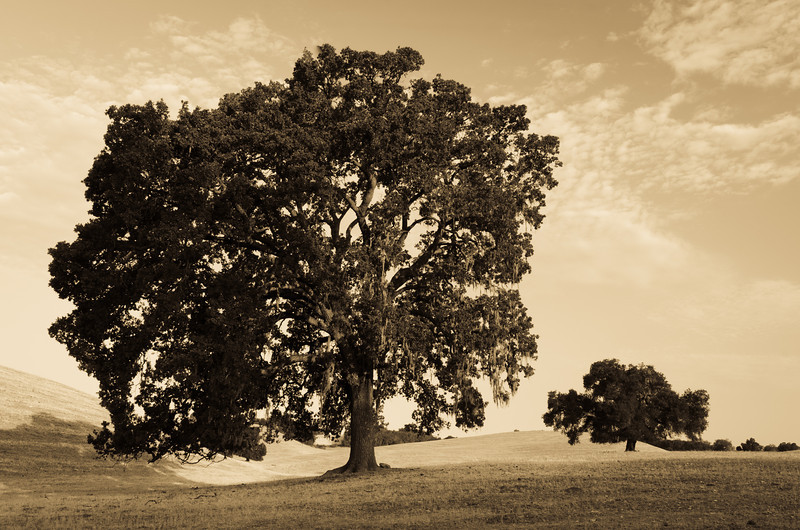 Oak Tree in Field<br /> California Central Coast