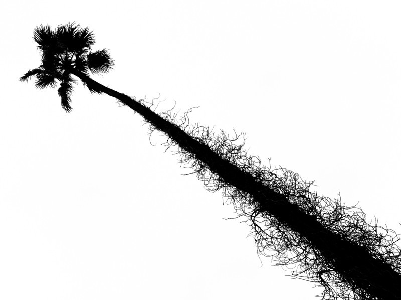 """<span id=""""date"""">_12/14/10_</span> <span id=""""title"""">Scraggly</span> This unshaven palm tree was near downtown Santa Monica. We had the afternoon off (sort of) and spent most of the afternoon there. One highlight included a free pair of pants! Dockers was doing a marketing campaign where a guy purposely tipped over his cart to see if random people would help him pick up his stuff. We did, so we got some free pants! It's part of their 'Chivalry is not Dead' campaign. Apparently 35 people <em>didn't</em> help the guy before we did. I guess chivalry <em>is</em> dead for them.  <a href=""""http://www.jawsnap.net/Daily/year2/7157835_BfJPF#741140373_BmXyU"""">[last year]</a>"""
