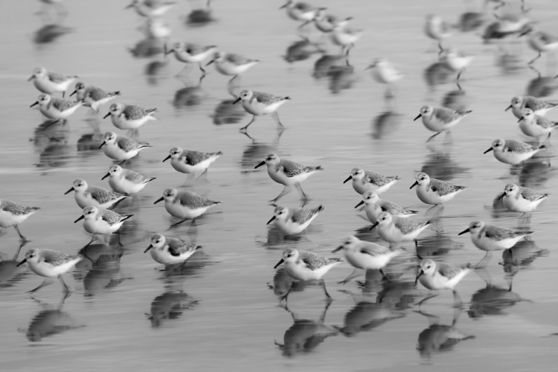 Sandpipers in Sync