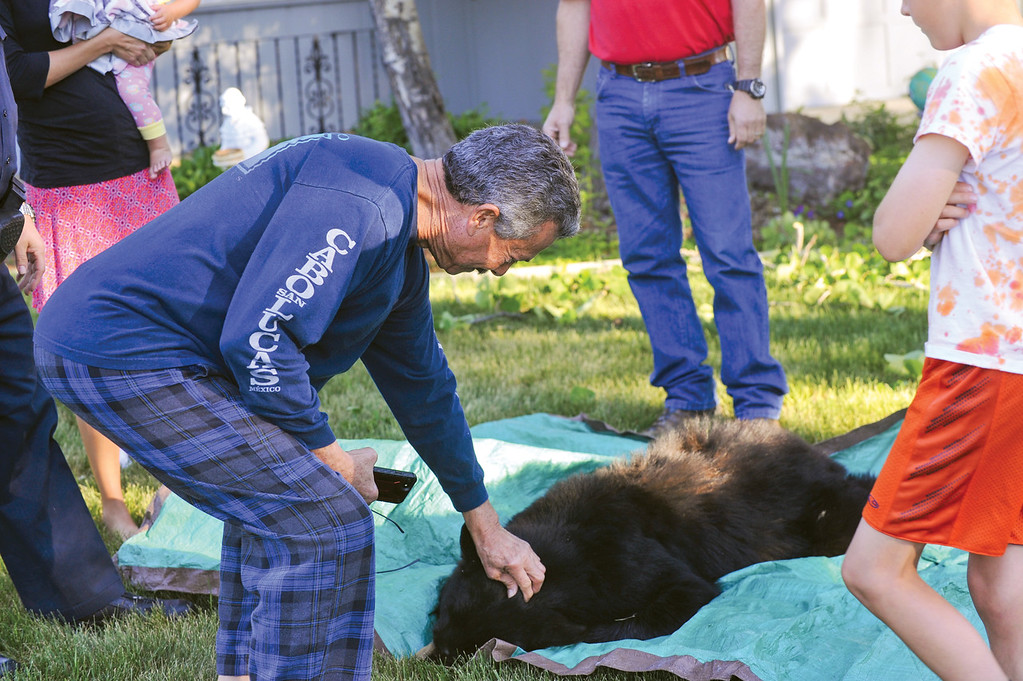 Ashleigh Fox | The Sheridan Press<br /> Charlie Bassett takes a turn petting a tranquilized black bear Friday, May 25, 2018. Bassett woke up to the bear rummaging through his garbage bins. His dogs scared the bear up into the tree in the front yard of Mike and Mary Lansing's home. Wyoming Game and Fish Department wardens tranquilized the bear twice before it fell.