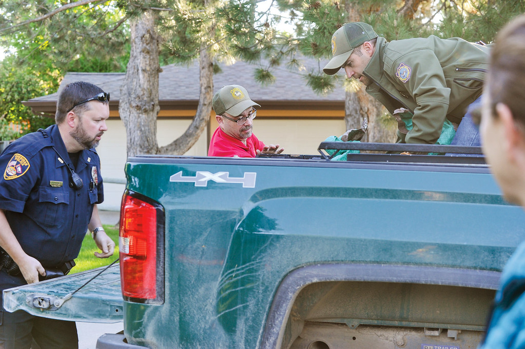 Ashleigh Fox | The Sheridan Press<br /> Sheridan Police Department Officer Rodney Swaney and Wyoming Game and Fish Department wardens Craig Smith and Dustin Shorma load the tranquilized black bear in the back of the WGFD truck bed Friday, May 25, 2018.