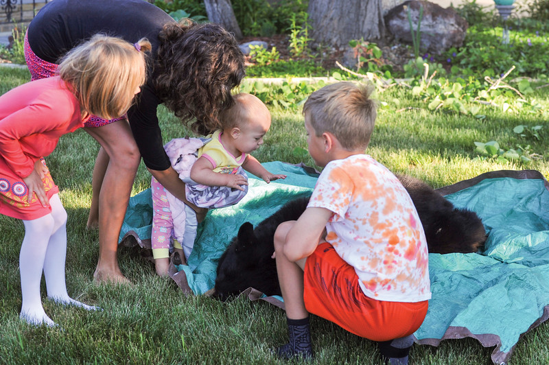 Ashleigh Fox | The Sheridan Press<br /> Charlotte Lansing, center, prepares to pet a tranquilized black bear in the Lansing's front yard Friday, May 25, 2018. Pictured from left, Elizabeth Lansing, Mary Lansing, Charlotte and Aaron Lansing. A black bear showed up in the yard Thursday night and was tranquilized out of a tree by Wyoming Game and Fish Department wardens Friday morning.