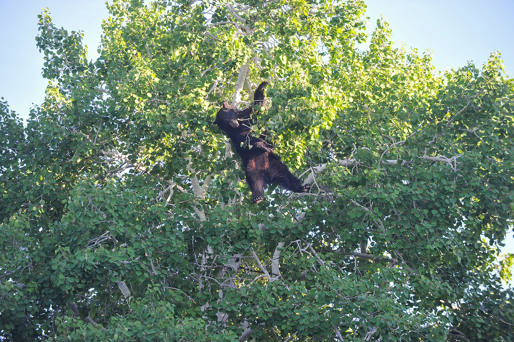 Ashleigh Fox | The Sheridan Press<br /> A black bear falls from a tree after being tranquilized twice by Wyoming Game and Fish Department wardens in Sheridan city limits Friday, May 25, 2018. The bear was found on Scott Circle Thursday night and was scared into a tree by dogs Friday morning.