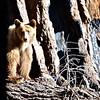 cinnamon black bear in front of sequoia tree