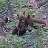 cinnamon cubs playing