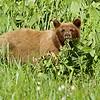 cinnamon bear eating skunk cabbage