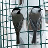 composite of Black-capped and Carolina Chickadees, January 2017, Chester Co, PA (thank you Jean Kohanek for the Photoshop skills!)