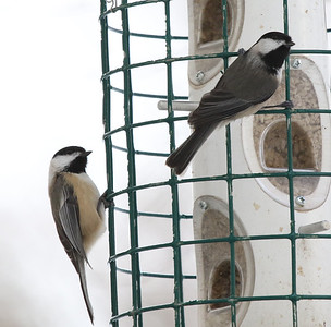 Black-capped Chickadee irruption 2016-2017, Chester Co, PA