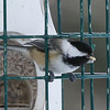 Black-capped Chickadee, January 2017, Chester Co, PA
