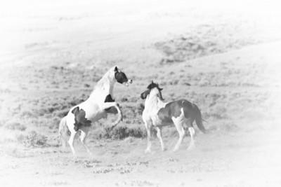 Wild Mustangs 1