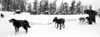 Panorama photo of a dog team being harnessed to a sled at Snowmass. The dog's kennels are spread across the top of the area. (Scanned from black and white film.)