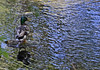 Mallard on Rapid Creek<br /> June, 2013