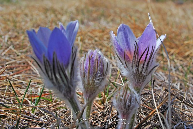 Buzzard's Pasque<br /> February 2012
