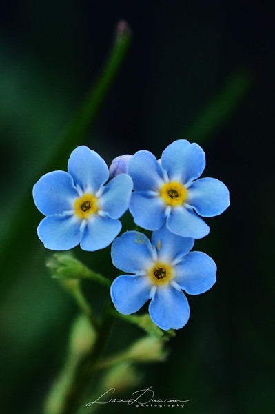Forget-Me-Nots<br /> Spearfish Canyon<br /> November, 2010