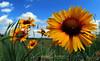 Blanket Flower<br /> Deerfield<br /> July, 2012