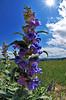 Blue Stem Penstemon<br /> Deerfield<br /> July, 2011