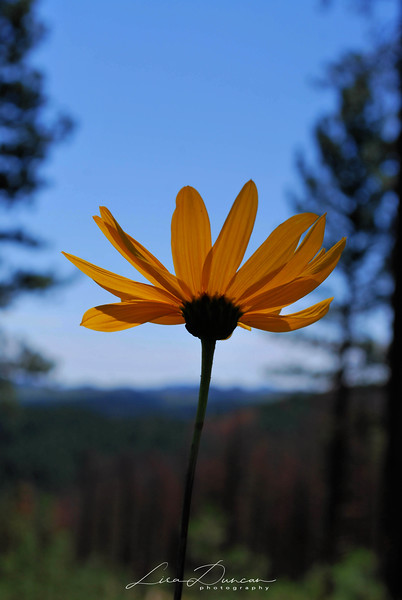 Black-Eyed Susan<br /> Tower Hike 2012
